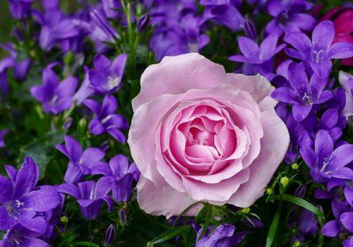 rose-3352891_640